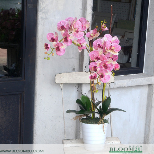 Phalaenopsis Orchid Delivery